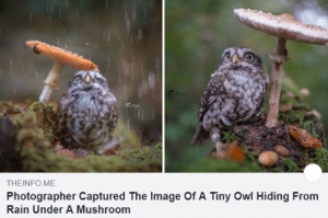 Wholesome Owl.. uwu: THEINFO ME  Photographer Captured The Image Of A Tiny Owl Hiding From  Rain Under A Mushroom Wholesome Owl.. uwu