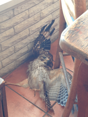 "My House, Tumblr, and Blog: thekumazone:  laughhard:  This hawk came into my house this morning and made a complete fool of himself  that face says ""dont look at me"""