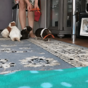 theliftingyogi: abandoned-as-mustard:  layingdownsomebatfeets:  bunjywunjy:  softwaring: https://www.instagram.com/p/BmdoKm1gKc7  your horses are very majestic  Guinea pigs being given strips of carrot than dramatically running off in slo mo…is a good aesthetique.   How the last one reared before galloping off tho    I would die for them, full stop  : theliftingyogi: abandoned-as-mustard:  layingdownsomebatfeets:  bunjywunjy:  softwaring: https://www.instagram.com/p/BmdoKm1gKc7  your horses are very majestic  Guinea pigs being given strips of carrot than dramatically running off in slo mo…is a good aesthetique.   How the last one reared before galloping off tho    I would die for them, full stop