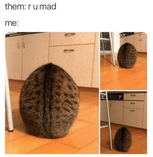 Cats, Caturday, and Funny: them: r u mad  me Happy Caturday everyone!#cat memes # caturday # memes # funny memes # animal memes # funny cats