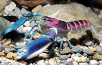 themetaldude:  sixpenceee:A German scientist recently discovered what is possibly the most beautiful crayfish in the world – Cherax pulcher. This little freshwater cousin of the shrimp and lobster, native to Indonesia, has a vividly colorful shell that looks like a cosmic nebula or a tropical sunset. (Source) IT'S THE BI FLAG!!!: themetaldude:  sixpenceee:A German scientist recently discovered what is possibly the most beautiful crayfish in the world – Cherax pulcher. This little freshwater cousin of the shrimp and lobster, native to Indonesia, has a vividly colorful shell that looks like a cosmic nebula or a tropical sunset. (Source) IT'S THE BI FLAG!!!