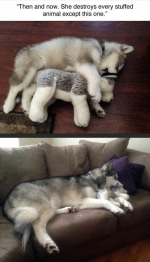 "Animals, Funny, and Memes: Then and now. She destroys every stuffed  animal except this one."" 50+ Funny Husky Memes That Will Keep You Laughing For Hours #husky #huskymemes #dogmemes #memes #funnymemes - Lovely Animals World"