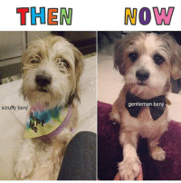 Memes, Swag, and Http: THEN NOW  gentleman benji  scruffy benji Show us your favorite before & after pics of your dog!! One lucky winner will win 6 months of BarkBox! And 7 lucky entries will win all kinds of Bark Swag. Enter here: http:-ruv.me-ThrowbarkThursday @thedoginabag