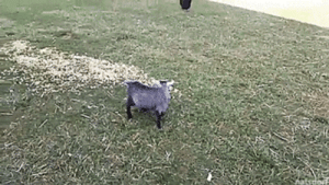 thenatsdorf: Pygmy goat butts heads with a rooster. [full video]: thenatsdorf: Pygmy goat butts heads with a rooster. [full video]