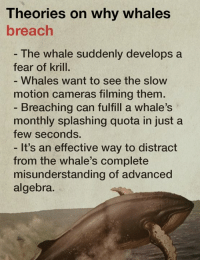 """Today, we explain the best theories about why whales """"breach.""""  What's your top theory?: Theories on why whales  breach  The Whale suddenly develops a  fear of krill.  Whales, Want to See the SloW  motion cameras filming them  Breaching can fulfill a whale's  monthly splashing quota in just a  few seconds.  It's an effective way to distract  from the whale's complete  misunderstanding of advanced  algebra. Today, we explain the best theories about why whales """"breach.""""  What's your top theory?"""