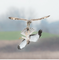 Tumblr, Blog, and Canada: theraptorcage:Short-eared Owl (top) fighting Northern Harrier (bottom) over prey.