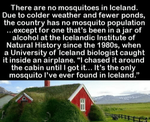 "https://t.co/mIfLNzhu4k: There are no mosquitoes in Iceland.  Due to colder weather and fewer ponds,  the country has no mosquito population  ...except for one that's been in a jar of  alcohol at the Icelandic Institute of  Natural History since the 1980s, when  a University of Iceland biologist caught  it inside an airplane. ""I chased it around  the cabin until I got it... It's the only  mosquito l've ever found in Iceland."" https://t.co/mIfLNzhu4k"