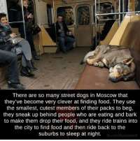 Memes, 🤖, and Moscow: There are so many street dogs in Moscow that  they've become very clever at finding food. They use  the smallest, cutest members of their packs to beg,  they sneak up behind people who are eating and bark  to make them drop their food, and they ride trains into  the city to find food and then ride back to the  suburbs to sleep at night.  fb.com/facts Weird