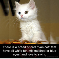 """Blue Eye: There is a breed of cats """"Van cat"""" that  have all white fur, mismatched or blue  eyes, and love to swim  fb.com/facts Weird"""
