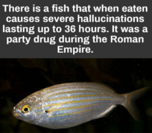 Empire, Party, and Fish: There is a fish that when eaten  causes severe hallucinations  lasting up to 36 hours. It was a  party drug during the Roman  Empire. Does anybody know the name of this species? I need it for a, eh, research