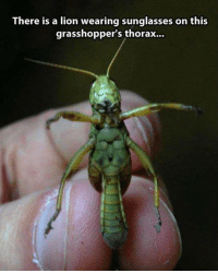 GrasshopperLAD: There is a lion wearing sunglasses on this  grasshopper's thorax... GrasshopperLAD
