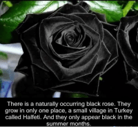 Memes, Summer, and Nature: There is a naturally occurring black rose. They  grow in only one place, a small village in Turkey  called Halfeti. And they only appear black in the  summer months.
