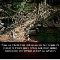 Suspensing: There is a tribe in India that has learned how to train the  roots of fig trees to create natural suspension bridges  that can span over 100 feet, and last 500-600 years.