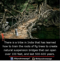 Suspensing: There is a tribe in India that has learned  how to train the roots of fig trees to create  natural suspension bridges that can span  over 100 feet, and last 500-600 years  /didyouknowpagel  Cu  @didyouknowpage