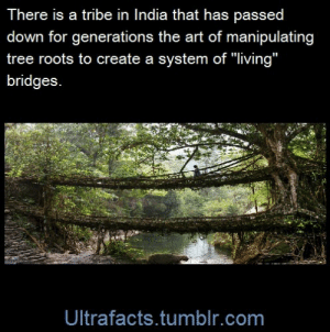 """ayellowbirds:  ultrafacts:  sky-dragoon-twilight:  ultrafacts:  Source Follow Ultrafacts for more facts  WHOA!    They are not some anonymous """"a tribe in India"""", they are the War-Khasi.Speaking as a former anthro student and as a reference librarian, I am beyond sick of posts (and articles, and emails, and museum displays) like this that present the work of a people without actually naming the people. It's erasure, it's reducing the great works of a culture to an Ozymandias-esque curiosity for foreigners to consume rather than an accomplishment that should help bring awareness of that culture's existence. They are the War-Khasi, a division of the Khasi, a people who call themselves Hynñiew Trep. They live in Meghalaya, and they have been building these bridges in the town of Cherrapunji for longer than anyone knows. They are not anonymous. : There is a tribe in India that has passed  down for generations the art of manipulating  tree roots to create a system of """"living""""  bridges  Ultrafacts.tumblr.com ayellowbirds:  ultrafacts:  sky-dragoon-twilight:  ultrafacts:  Source Follow Ultrafacts for more facts  WHOA!    They are not some anonymous """"a tribe in India"""", they are the War-Khasi.Speaking as a former anthro student and as a reference librarian, I am beyond sick of posts (and articles, and emails, and museum displays) like this that present the work of a people without actually naming the people. It's erasure, it's reducing the great works of a culture to an Ozymandias-esque curiosity for foreigners to consume rather than an accomplishment that should help bring awareness of that culture's existence. They are the War-Khasi, a division of the Khasi, a people who call themselves Hynñiew Trep. They live in Meghalaya, and they have been building these bridges in the town of Cherrapunji for longer than anyone knows. They are not anonymous."""