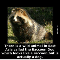 Dank, 🤖, and Dog: There is a wild animal in East  Asia called the Raccoon Dog  which looks like a raccoon but is  actually a dog. I need one! http://goo.gl/xJI30i