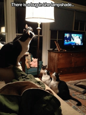 Cats, Funny, and Memes: There isabuginChe lampshade.. When your worst enemy is a bug... #cat memes # cats # funny cats # cats vs. bugs #