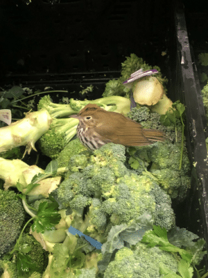 There was a bird in the broccoli at the grocery store today.: There was a bird in the broccoli at the grocery store today.