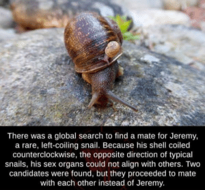 Me 🐌 irl: There was a global search to find a mate for Jeremy,  a rare, left-coiling snail. Because his shell coiled  counterclockwise, the opposite direction of typical  snails, his sex organs could not align with others. Two  candidates were found, but they proceeded to mate  with each other instead of Jeremy. Me 🐌 irl