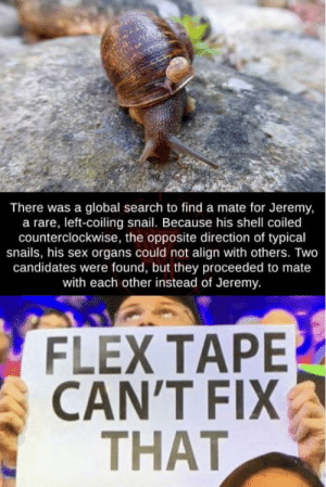 Flexing, Reddit, and Sex: There was a global search to find a mate for Jeremy,  a rare, left-coiling snail. Because his shell coiled  counterclockwise, the opposite direction of typical  snails, his sex organs could not align with others. Two  candidates were found, but they proceeded to mate  with each other instead of Jeremy.  FLEX TAPE  CAN'T FIX  THAT That's a mega oof