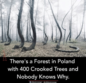 Memes, Trees, and Poland: There's a Forest in Poland  with 400 Crooked Trees and  Nobody Knows Why