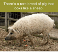 pig: There's a rare breed of pig that  looks like a sheep