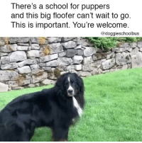 Dogs, Memes, and School: There's a school for puppers  and this big floofer can't wait to go  This is important. You're welcome  @doggieschoolbus DOGS ARE SO PURE 😭🙏❤️ . VIA @popyourpup - @doggieschoolbus