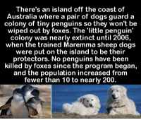 Memes, Penguin, and Penguins: There's an island off the coast of  Australia where a pair of dogs guard a  colony of tiny penguins so they won't be  wiped out by foxes. The little penguin  colony was nearly extinct until 2006,  when the trained Maremma sheep dogs  were put on the island to be their  protectors. No penguins have been  killed by foxes since the program began,  and the population increased from  fewer than 10 to nearly 200.