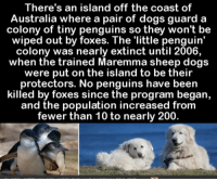 Bailey Jay, Dogs, and Australia: There's an island off the coast of  Australia where a pair of dogs guard a  colony of tiny penguins so they won't be  wiped out by foxes. The 'little penguin'  colony was nearly extinct until 2006,  when the trained Maremma sheep dogs  were put on the island to be their  protectors. No penguins have been  killed by foxes since the program began,  and the population increased from  fewer than 10 to nearly 200. Good boys guarding the pemguins!