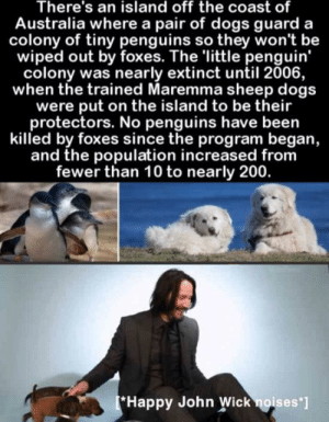 Who's cutting onions: There's an island off the coast of  Australia where a pair of dogs guard a  colony of tiny penguins so they won't be  wiped out by foxes. The 'little penguin'  colony was nearly extinct until 2006,  when the trained Maremma sheep dogs  were put on the island to be their  protectors. No penguins have been  killed by foxes since the program began,  and the population increased from  fewer than 10 to nearly 200.  Happy John Wick noises'] Who's cutting onions