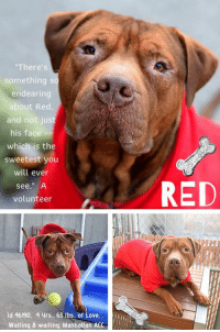 "Being Alone, Andrew Bogut, and Animals: There's  something so  endearing  about Red,  and not just  his face-  which is the  sweetest you  will ever  see."" A  volunteer  RED  ld 46190, 4 yrs, 63 lbs, of Love,  Waiting & waiting, Manhottan ACC I'M STILL WAITING!  ☹ - 11/23/2018    ** AT THE SHELTER FOR OVER 3 MONTHS! **   ""I love ALL the belly rubs and head scratches…you can pamper me all day long when I'm yours!   I'm losing hope I will ever find a family….""  He has been waiting since November 11, 2018 for a family to pick him.  He has watched sadly and with longing as others who came after him, have left before him.  And still, he tried to smile.  Gorgeous 60-Pound Red is a smushy face sweetheart  <3 who lost the only home he has ever known --  home he had since he was just a baby puppy.  A home where Red never saw a vet for care.  A home where he was not allowed to live inside at all!   Yet Red is still a smushy faced sweetheart who has lots of love to give!  He lived with another dog, he knows commands, he is housebroken on the very few occasions he was allowed to come inside.  But he will soon he will be out of time.   Don't you think it's way past time for this loveable, kind, beyond sweet boy to know the comfort of a good life, one in which he can be in the home with his people not left outside all alone wondering what he ever did to deserve the isolation.   Volunteers adore this wiggly, attention seeking gentle giant, and are scratching their heads (as are we) at why NO ONE has stepped up for him.  Glorious, magnificent, and with the biggest of hearts, he could be yours now.  A volunteer writes:    ""There's something SO endearing about Red (and it's not just his face, which might be the sweetest you'll ever see!). He has moments of being bashful but definitely craves attention and affection. He is always quiet and wiggly when I approach his cage, he'll push his face into my lap when I pet him, and his eyes are on the verge of speaking (I think their first words will be ""I love you!""). I think he could learn to do just about anything for a treat but for now he knows ""sit"" and ""down"" (and takes his reward like a gentleman). He previously lived harmoniously with another male dog but hasn't interacted with others so will likely need slow introductions (and no cats, please!). He always seems very grateful for company and after our most recent walk played with a stuffed carrot on his bed like he was in his own little world -- so sweet! He's looking for a cozy couch and a family to love...please come meet him at Brooklyn, NY ACC!""  Foster or adopt him now and save his life.  You can message our page or email us at MustLoveDogsNYC@gmail.com for assistance fostering or adopting long timer RED and give him the home he has spent so long dreaming of.     RED,  ID # 46190, @ 4 Yrs. Old, 63.6 lbs.  Manhattan ACC, Large Mixed Breed, Bronze, Unaltered Male Owner Surrender Reason:   Owner unable to care for him anymore Shelter Assessment Rating:   Adult Only Home (no children under Age 13) Medical Behavior Rating:   1.  Green  OWNER SURRENDER NOTES – BASIC INFORMATION:  Red is a four year old large male dog that was surrendered to the center due to the owner being unable to care for him. The owner had him since he was a puppy. He doesn't have any health issues. The owner never took him to the vet.  Red previously lived with two adults and one dog.   As per owner, Red tends to ignore strangers.  The owner had two children however they never were near Red as he used to stay in the backyard. He lived another large male dog. He was relaxed, playful and respectful around him. As per owner, Red is dog reactive. He will lunge at other dogs.  He didn't live with cats. As per owner, he will chase and bite them.   Red is not bothered when his food is touched nor if an object is taken away from him however as per owner, he was the only one that used to do that. He said that doesn't know how Red would react if someone else tries to.  Red has no bite history with a person.  His previous bite history with an animal. He bit a cat and killed it while being left in the yard. The owner did not see it happen, he just notice the cat was found as a DOA. The owner reported Red will lunge at small animals he comes across. Red is housetrained and has a high energy level.  He has never had a medical issue.   Other Notes:  He is not bothered if he is held or restrained nor he if is disturbed while resting, being bathed, brushed, having his nails trimmed. He barks if someone unfamiliar approaches the house.   For a New Family to Know:  RED was described as confident and independent. His favorite activity is to chase balls and long walks. At home, he tends to follow people around and be in the same room. He likes to fetch and chase. He was kept outdoors only. He eats dry and wet food and was fed twice a day. He is house-trained and goes potty on grass and dirt. He knows the sit, come, down and stay commands. She is used to brisk walks on leash and to play in the yard for exercise. He pulls very hard when he is on a leash. The owner never took him out without a leash.  INTAKE NOTES – DATE OF INTAKE, 11/01/2018:  Due to behavior concerns as per the owner, no handling was done with Red.    SHELTER ASSESSMENT – DATE OF ASSESSMENT, 3-Nov-2018:  Look:  1. Dog's eyes are averted, ears are back, tail is down, relaxed body posture. Dog allows head to be held loosely in Assessor's cupped hands.  Sensitivity:  1. Dog stands still and accepts the touch, eyes are averted, and tail is in neutral position with a relaxed body posture. Dog's mouth is likely closed for at least a portion of the assessment item.  Tag:  1. Dog follows at the end of the leash, body soft.  Paw squeeze 1:  3. Dog closes mouth, becomes stiff.  Flank squeeze 1:  3. Dog closes mouth, begins to purse lips and becomes stiff.  Flank squeeze 2:  1. Dog does not respond at all.  Toy:  1. No interest.  Summary:  Red came into the assessment room calm and was quiet.  He was social towards the handlers with a slow approach. He was a bit uncomfortable with some handling.  PLAYGROUP NOTES – DOG TO DOG SUMMARIES:   According to Red's previous owner, Red lived with one male dog and was social with him. He is reactive towards novel dogs while on a leash.  11/3: Due to the lack of an appropriate greeter, a gate greet was conducted with Red. At the gate, Red displays a high vibrating tail and whimpers. He focuses on the greeter and attempts to follow her when she moves away.  11/6: Red was allowed to greet the novel female dog, while handlers held his leash. He displayed a slightly tense posture with a heightened stance.   11/26: Red interacted with a novel female today. He kept a high stance throughout the session, even when he was chasing her around the yard. His posture remained tense, mouth closed.    INTAKE BEHAVIOR - Date of intake:  1-Nov-2018.  Summary:  No handling was done due to his behavior.  ENERGY LEVEL:  Red displays a high activity level in the care center.   IN SHELTER OBSERVATIONS:   11/21: While out on walks, Red has been easy to remove from and return to the kennel. He walks calmly past other dogs, and allows touch and petting.  BEHAVIOR DETERMINATION:  ADULT ONLY HOME  Recommendations:  No children (under 13), NO CATS!!!   Recommendations comments:  No children: Due to some uncomfortable handling Red is currently with touch and novel stimuli, we feel that an adult-only home would be most beneficial at this time.  No cats: Red attacked a cat in a home environment and has shown a concerning level of intensity toward cats. He must not be placed into a home with cats or where he may be exposed to cats.  Potential challenges:  Handling/touch sensitivity.  Potential challenges comments:  Handling/touch sensitivity: Red has been noted to become uncomfortable with handling at times, especially when a person is reaching over him. It is important to always go slow and give dog the option to walk away from any social interaction. Dog should never be forced to approach anything that he is uncomfortable with or to submit to petting or handling. It should always be Dogs choice to approach a new person or thing. Dog may do best in an initially calm and quiet home environment and should be given time to acclimate to his new surroundings.   MEDICAL EXAM NOTES   13-Dec-2018  Pre-Op Exam.  H: Visual exam.  S: BARH. No csvd.  Eyes: entropion OU.  Ears: Unremarkable AU.  Nasal Cavity: No nasal discharge.  Lungs: Eupneic.  U/G: MI. No discharge.  Musculoskeletal: Ambulatory x 4 with no appreciable lameness.   BCS = 5/9.  Integument: Otherwise unremarkable haircoat.  Neuro: Appropriate mentation.   Rectal: Not performed. Externally normal.  Assessment: Suspect entropion.  Plan: continue to monitor.  18-Nov-2018  Progress Exam.  S/O: Found at front of cage, BAR, seemed to seek attention. Today, had an appetite and drinking score of 2. Moderate nasal discharge noted with no coughing or sneezing.  Assessment:  1) CIRDC,  2) Hyporexia, 3) Conjunctivitis.  Plan:  1) Continue meds doxycycline and enrofloxacin for another 7 days.   2.) Recheck CIRDC in 7 days.    11-Nov-2018  Progress Exam.  S/O pt BAR.  EENT clear serous nasal dis-charge, epiphora, mild nasal congestion, intermittent sniffling.  Assessment - Suspected CIRDC, typical kennel cough.  Plan -  + Move to isolation, + Enrofloxacin 10 mg/kg SID for 14 days, + 10mg/kg doxycycline PO SID for 14 days, + 2 mg/kg cerenia PO SID for 4 days, + Proviable x 5 days SID PO, + Recheck in 7 days for resolvement.   10-Nov-2018  Post Surgery Note: 5:50 PM.  Pre-surgical exam,anesthesia and surgery performed by ASPCA.  Green linear tattoo placed on ventral abdomen.    9-Nov-2018  Pre-Op Exam.  H: Pre-op exam, going to Glendale tomorrow.  S: BARH. No csvd.   Eyes: Mild to moderate periocular erythema with possible entropion OU.  Ears: Unremarkable AU.  Nasal Cavity: No nasal discharge.   Lungs: Eupneic.  U/G: MI. No discharge.  Musculoskeletal: Ambulatory x 4 with no appreciable lameness.   BCS = 4/9.  Integument: Otherwise unremarkable haircoat.  Neuro: Appropriate mentation.  Rectal: Not performed. Externally normal.  Assessment: Suspect entropion.  Plan: Ok for surgery  6-Nov-2018  DVM Intake Exam.  Estimated age: 4 years.  Microchip noted on Intake? No.  Microchip Number (If Applicable): n/a.  History : O/S.  Subjective: BARH. No csvd.  Observed Behavior - Friendly, allowed all handling.  Evidence of Cruelty seen – no.  Evidence of Trauma seen – no.  Objective:  P = wnl, R = wnl, BCS 4/9, EENT: mild mucoid ocular discharge with mild to moderate peri-ocular erythema OU, ears clean, no nasal discharge noted.  Oral Exam: mild dental tartar.  PLN: No enlargements noted.  H/L: NSR, NMA, CRT < 2, Lungs clear, eupnic.  ABD: Non painful, no masses palpated.  U/G: intact male with two descended testicles, no discharge.  MSI: Ambulatory x 4, skin free of parasites, no masses noted, healthy hair coat.  CNS: Mentation appropriate - no signs of neurologic abnormalities.  Rectal: normal externally.  Assessment Conjunctivitis, possible entropion OU.  Prognosis: fair to good.  Plan: recommend optho consult with placement, as signs are mintor, ok to monitor for now.    SURGERY:  Okay for surgery  *** TO FOSTER OR ADOPT ***      If you would like to adopt a NYC ACC dog, and can get to the shelter in person to complete the adoption process, you can contact the shelter directly. We have provided the Brooklyn, Staten Island and Manhattan information below. Adoption hours at these facilities is Noon – 8:00 p.m. (6:30 on weekends)  If you CANNOT get to the shelter in person and you want to FOSTER OR ADOPT a NYC ACC Dog, you can PRIVATE MESSAGE our Must Love Dogs page for assistance. PLEASE NOTE: You MUST live in NY, NJ, PA, CT, RI, DE, MD, MA, NH, VT, ME or Northern VA. You will need to fill out applications with a New Hope Rescue Partner to foster or adopt a NYC ACC dog. Transport is available if you live within the prescribed range of states.  Shelter contact information: Phone number (212) 788-4000 Email adopt@nycacc.org  Shelter Addresses: Brooklyn Shelter: 2336 Linden Boulevard Brooklyn, NY 11208 Manhattan Shelter: 326 East 110 St. New York, NY 10029 Staten Island Shelter: 3139 Veterans Road West Staten Island, NY 10309  *** NEW NYC ACC RATING SYSTEM ***  Level 1 Dogs with Level 1 determinations are suitable for the majority of homes. These dogs are not displaying concerning behaviors in shelter, and the owner surrender profile (where available) is positive. Some dogs with Level 1 determinations may still have potential challenges, but these are challenges that the behavior team believe can be handled by the majority of adopters. The potential challenges could include no young children, prefers to be the only dog, no dog parks, no cats, kennel presence, basic manners, low level fear and mild anxiety.   Level 2  Dogs with Level 2 determinations will be suitable for adopters with some previous dog experience. They will have displayed behavior in the shelter (or have owner reported behavior) that requires some training, or is simply not suitable for an adopter with minimal experience. Dogs with a Level 2 determination may have multiple potential challenges and these may be presenting at differing levels of intensity, so careful consideration of the behavior notes will be required for counselling. Potential challenges at Level 2 include no young children, single pet home, resource guarding, on-leash reactivity, mouthiness, fear with potential for escalation, impulse control/arousal, anxiety and separation anxiety.   Level 3 Dogs with Level 3 determinations will need to go to homes with experienced adopters, and the ACC strongly suggest that the adopter have prior experience with the challenges described and/or an understanding of the challenge and how to manage it safely in a home environment. In many cases, a trainer will be needed to manage and work on the behaviors safely in a home environment. It is likely that every dog with a Level 3 determination will have a behavior modification or training plan available to them from the behavior department that will go home with the adopters and be made available to the New Hope Partners for their fosters and adopters. Some of the challenges seen at Level 3 are also seen at Level 1 and Level 2, but when seen alongside a Level 3 determination can be assumed to be more severe. The potential challenges for Level 3 determinations include adult only home (no children under the age of 13), single pet home, resource guarding, on-leash reactivity with potential for redirection, mouthiness with pressure, potential escalation to threatening behavior, impulse control, arousal, anxiety, separation anxiety, bite history (human), bite history (dog) and bite history (other).  New Hope Rescue Only  Dog is not publicly adoptable.  Prospective fosters or adopters need to fill out applications with New Hope Partner Rescues to save this dog."