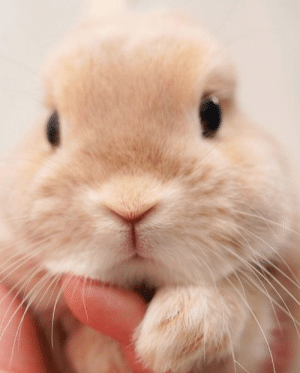 thesassybunnies:  Aww 😍🐰 (via): thesassybunnies:  Aww 😍🐰 (via)