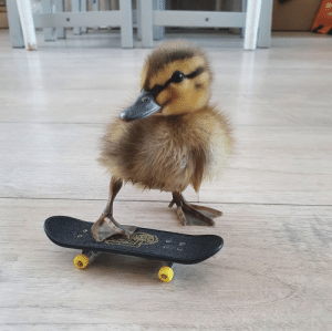 "thesassyducks:  ""See you later, Quack!"" 😎🐥via @siebe3t: thesassyducks:  ""See you later, Quack!"" 😎🐥via @siebe3t"