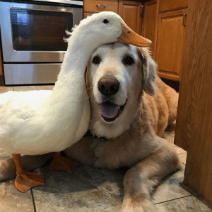thesassyducks:A golden & her duck best friend ❤️: thesassyducks:A golden & her duck best friend ❤️