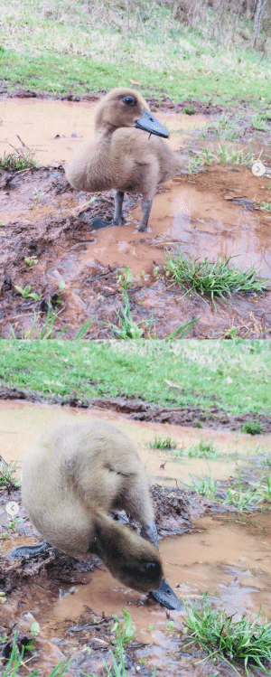 thesassyducks: His first time playing in the mud and definitely won't be his last because he loved it so much 😆 via @mylifewithducks : thesassyducks: His first time playing in the mud and definitely won't be his last because he loved it so much 😆 via @mylifewithducks