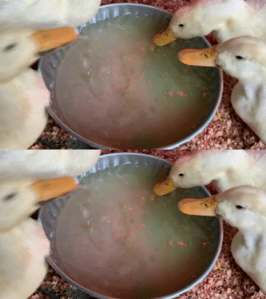 thesassyducks: Just some sassy ducks eating their treats 🥰🥰 (via) : thesassyducks: Just some sassy ducks eating their treats 🥰🥰 (via)