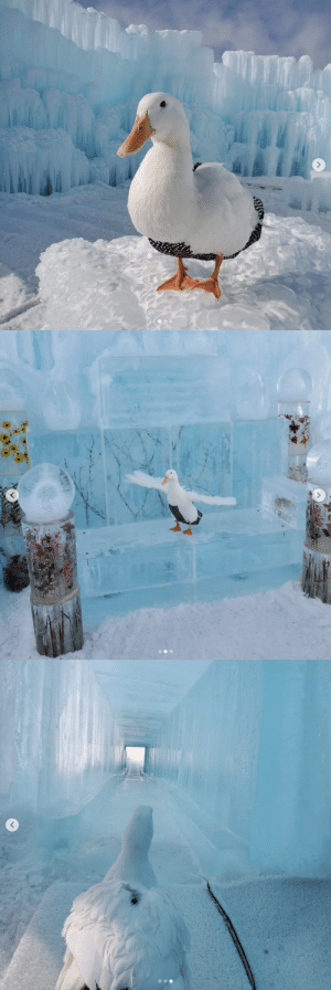 thesassyducks: This duck visited the ice castles and look at how amazing they are 😱🥶💙 (Source) : thesassyducks: This duck visited the ice castles and look at how amazing they are 😱🥶💙 (Source)