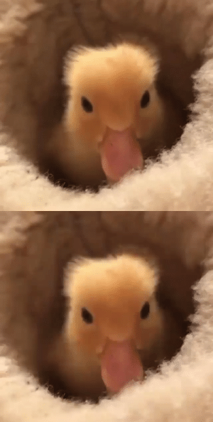 thesassyducks:  This is my new bed 🐥 (via): thesassyducks:  This is my new bed 🐥 (via)
