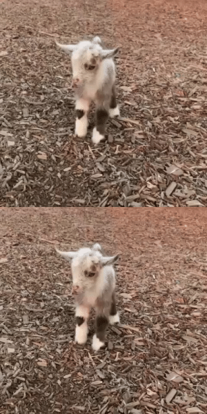 thesassygoats:  A dancing baby goat(via): thesassygoats:  A dancing baby goat(via)
