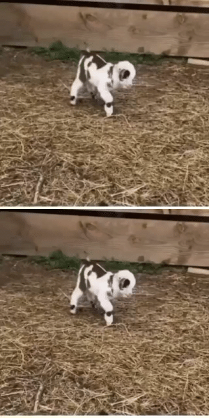 thesassygoats: Frolicking baby goat via @instagram : thesassygoats: Frolicking baby goat via @instagram