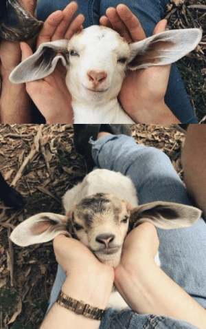 thesassygoats:  I love that we are blessed with goats. Look at their faces: thesassygoats:  I love that we are blessed with goats. Look at their faces
