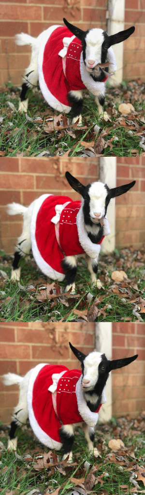 thesassygoats:nothing is better than goats in sweaters : thesassygoats:nothing is better than goats in sweaters