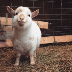 thesassygoats:plump and proud: thesassygoats:plump and proud