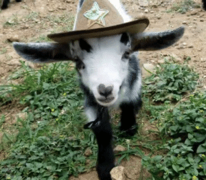 thesassygoats:there's a new sheriff in town (and she cute as hell): thesassygoats:there's a new sheriff in town (and she cute as hell)