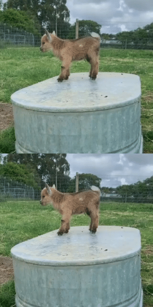 thesassygoats: Well someone is sure happy the rain stopped! via @brackenoaksfarm : thesassygoats: Well someone is sure happy the rain stopped! via @brackenoaksfarm