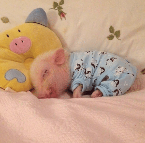 thesassypigs:  Baby pig sleeping in a coat: thesassypigs:  Baby pig sleeping in a coat