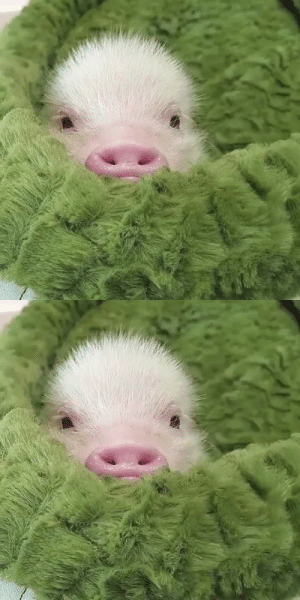 thesassypigs:  How cute little piggy💕Credit to respective owner(s) DM for credit: thesassypigs:  How cute little piggy💕Credit to respective owner(s) DM for credit