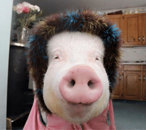 thesassypigs:This pig in winter picture will surely give you a little chuckle! This cute pig is always wearing colourful clothes. Whatever the weather is, you'd see her wear flashy and adorable winter or summer clothes!: thesassypigs:This pig in winter picture will surely give you a little chuckle! This cute pig is always wearing colourful clothes. Whatever the weather is, you'd see her wear flashy and adorable winter or summer clothes!