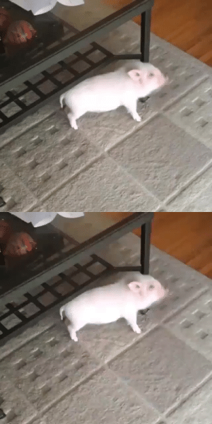 thesassypigs: Time to dance 🐷😂 via @pickles_the_piggy : thesassypigs: Time to dance 🐷😂 via @pickles_the_piggy