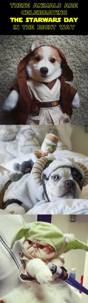 epicjohndoe:  Animals Celebrating The Star Wars Day: THESE ANIMALS ARE  CELEBRATING  THE STARWARS DAY  ON THE RIGHT WAY epicjohndoe:  Animals Celebrating The Star Wars Day